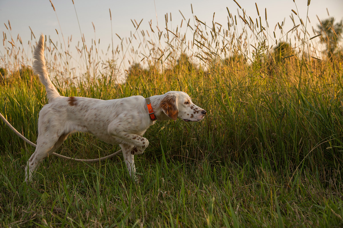 Illustration of a dog on a leash before a field of tall grass